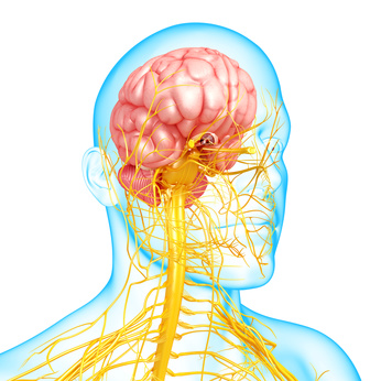 Anatomy of human brain with nervous system